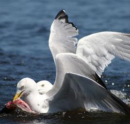 birds eating catch